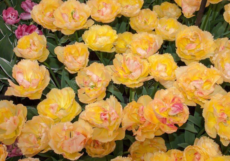 Tulpan kallade Vaya lurar dios som blommar i en trädgård arkivfoto