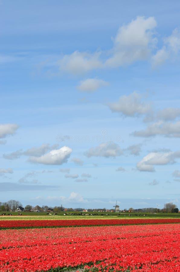 Tulpan och en windmill i Holland royaltyfria foton