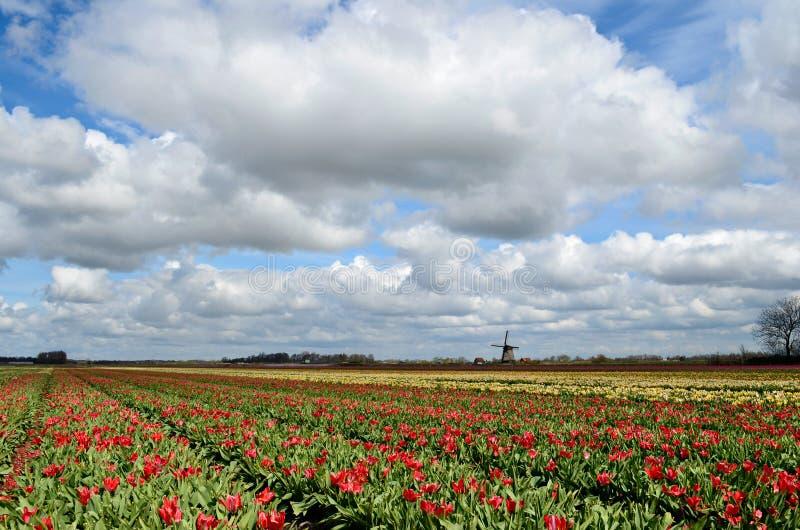 Tulpan och en windmill i Holland arkivbild