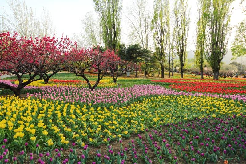 Tulpan och persikablomningar i trädgårds- vår arkivfoto