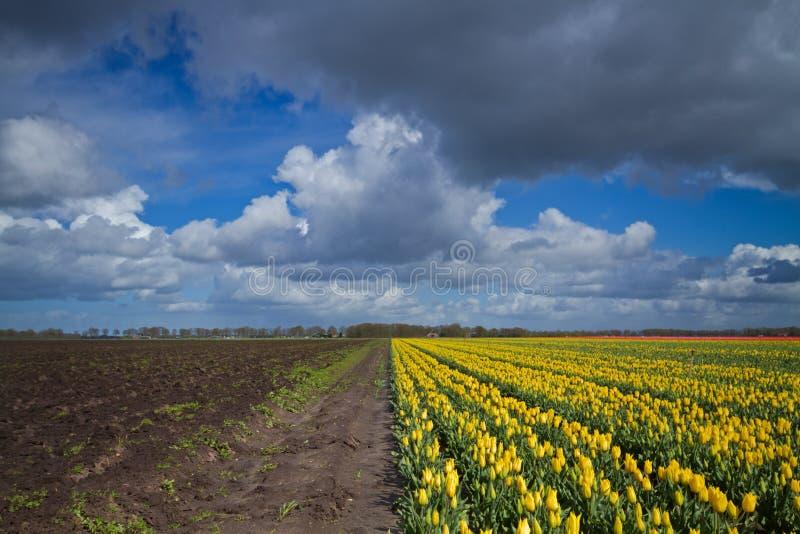 Tulpan på fält under mörka moln fotografering för bildbyråer