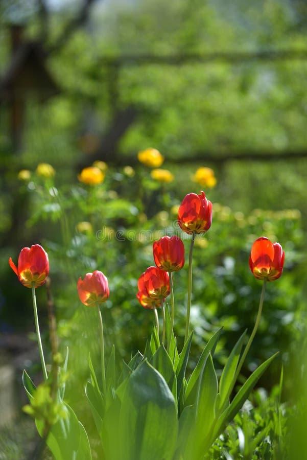 Tulpan p? blomsterrabatten royaltyfri foto
