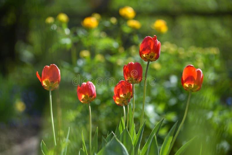 Tulpan p? blomsterrabatten fotografering för bildbyråer