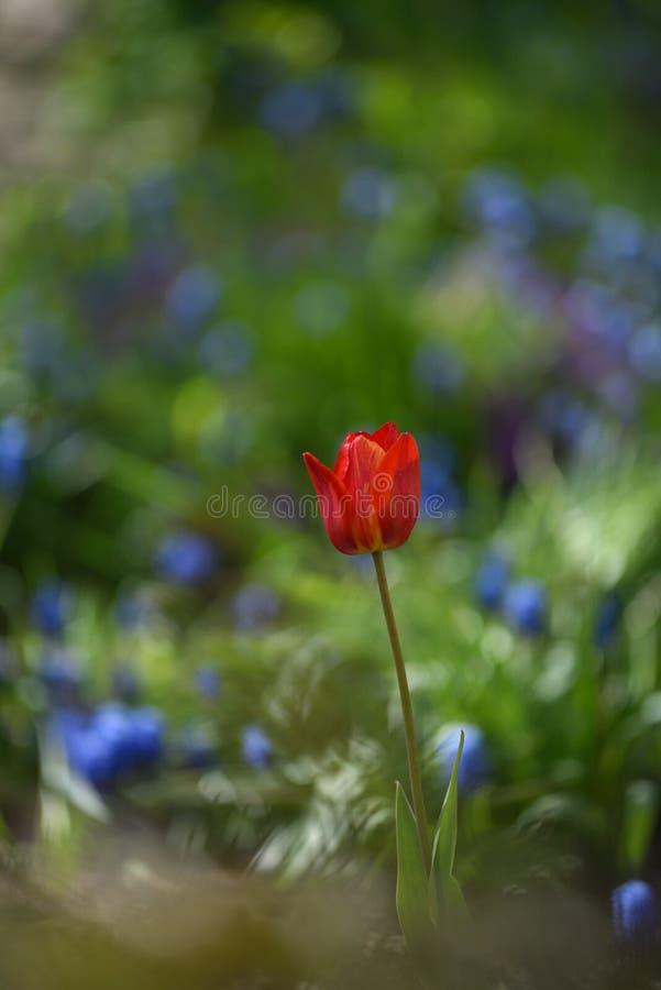 Tulpan p? blomsterrabatten royaltyfria bilder