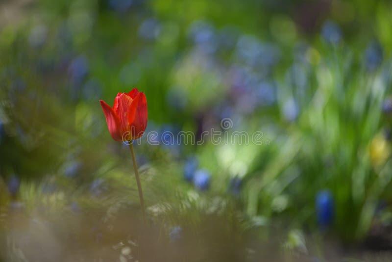 Tulpan p? blomsterrabatten royaltyfria foton