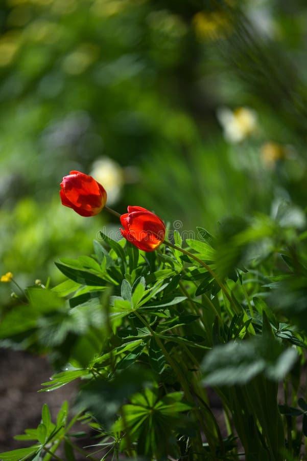 Tulpan p? blomsterrabatten arkivbild