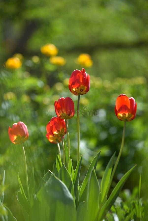 Tulpan p? blomsterrabatten arkivbilder