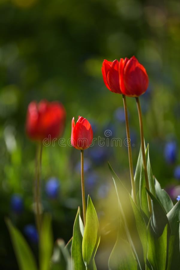 Tulpan p? blomsterrabatten royaltyfri bild