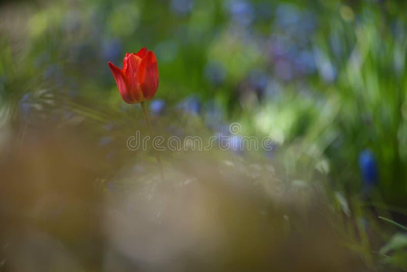 Tulpan p? blomsterrabatten arkivfoto