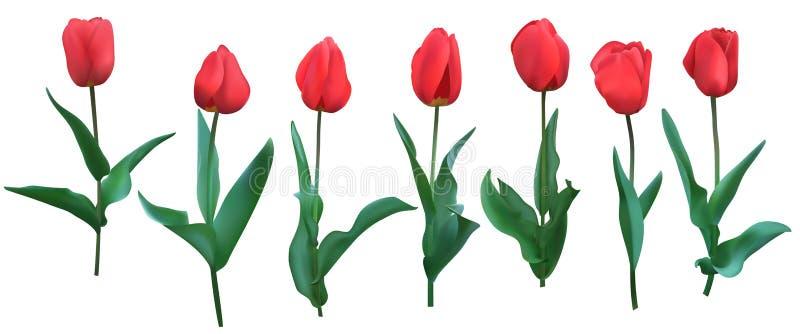 Tulpan Realistiska röda tulpan med sidor Ställ in av sju bakgrund isolerad white vektor illustrationer