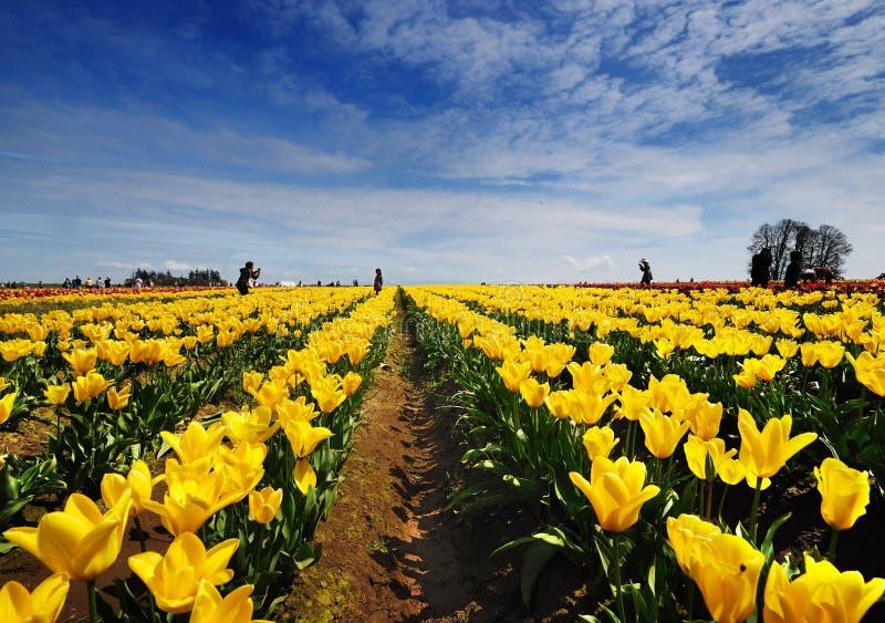Tulpan sätter in av Oregon royaltyfri foto