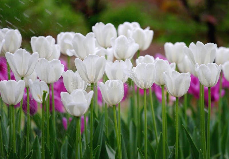 tulpan som bevattnar white royaltyfri fotografi