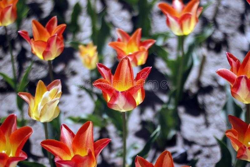 Tulpan som förbluffar vårblommor Orange tulpanblommor av förälskelse arkivbild