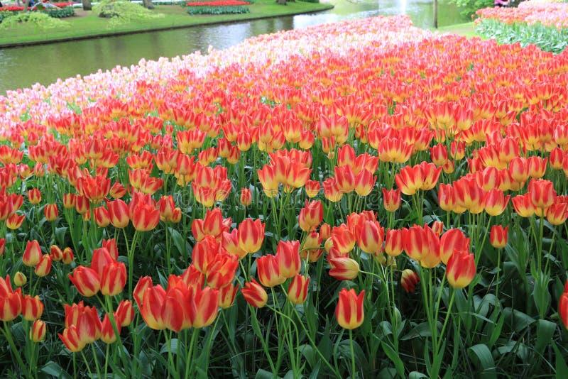 Tulpanblommor, keukenhof trädgårds- Holland royaltyfria foton