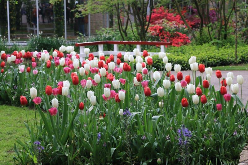 Tulpanblommor, keukenhof trädgårds- Holland arkivfoton