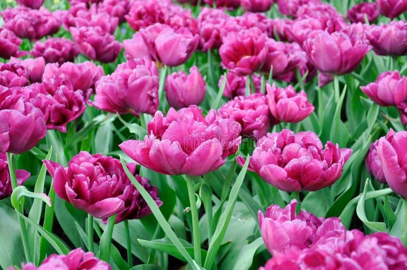 Tulpanblomning Rosa blommafält för närbild utomhus fotografering för bildbyråer