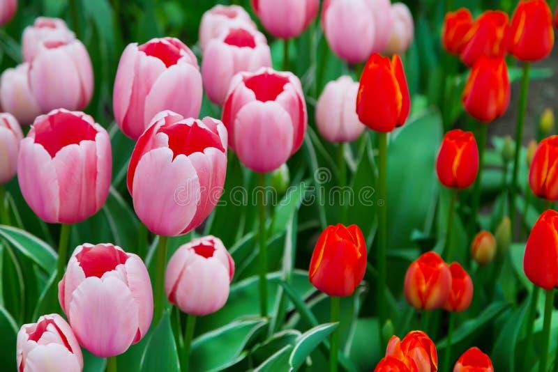 Tulpanblomsterrabatt, röda gula tulpan i trädgården arkivfoton