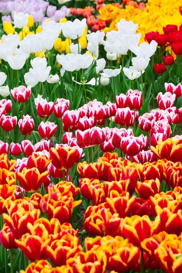 Tulpanblomsterrabatt, rött som är gul, vit royaltyfria foton
