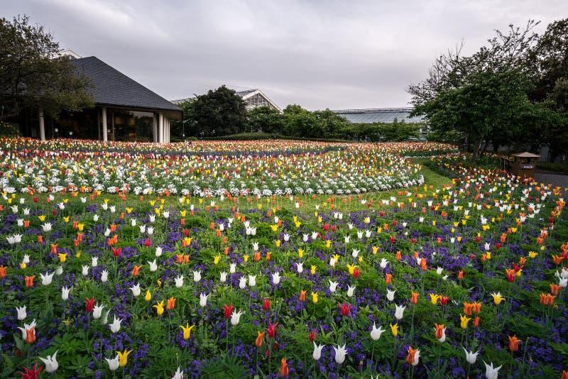 Tulpanfält i den Nabana inte sato trädgården, Japan fotografering för bildbyråer