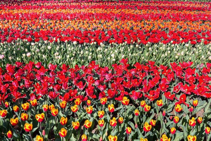 Tulpanfält med rader av röda tulpan royaltyfri bild