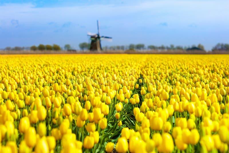 Tulpanfält och väderkvarn i Holland, Nederländerna arkivbilder