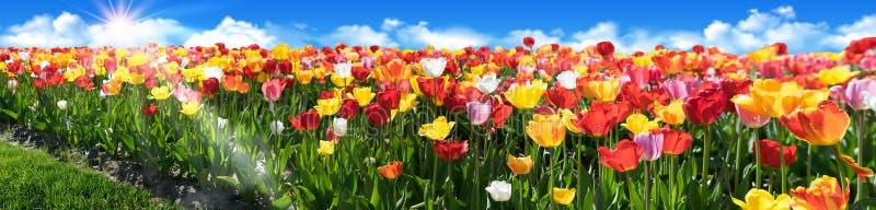 Tulpanfältpanorama med härliga färger Tulpanblomsterrabatt med blå himmel och solstrålar arkivbild