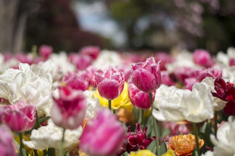 Tulpanfestival i Australien under blommande säsong arkivbilder