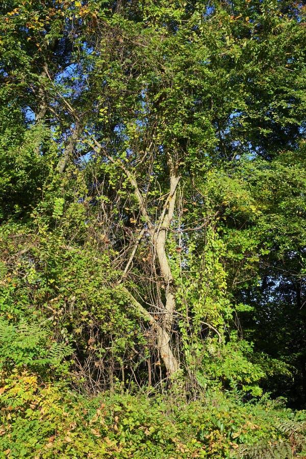 Tulpanpoppelträdet täckas med draperat med invasive dödande vinrankor arkivbilder