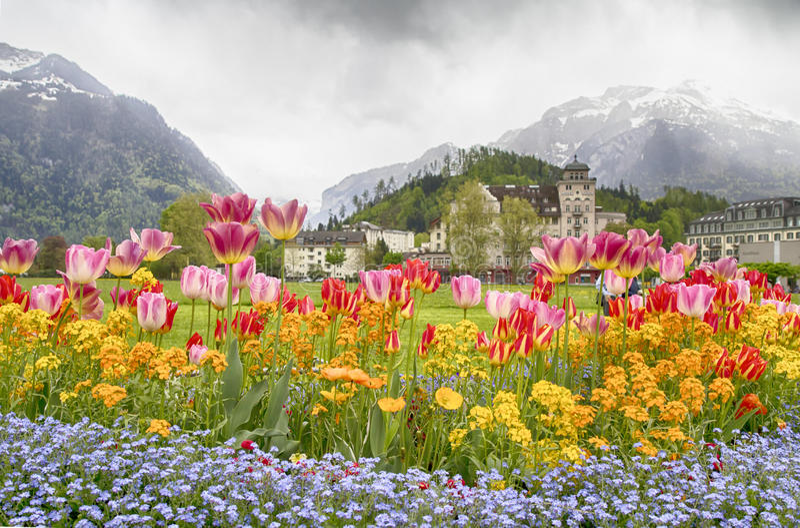 Tulpansängar och härligt landskap framme av de schweiziska fjällängarna, arkivbilder
