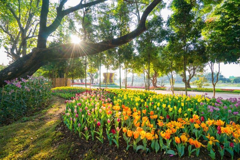 Tulpanträdgård i Chiang Rai thailand royaltyfri foto