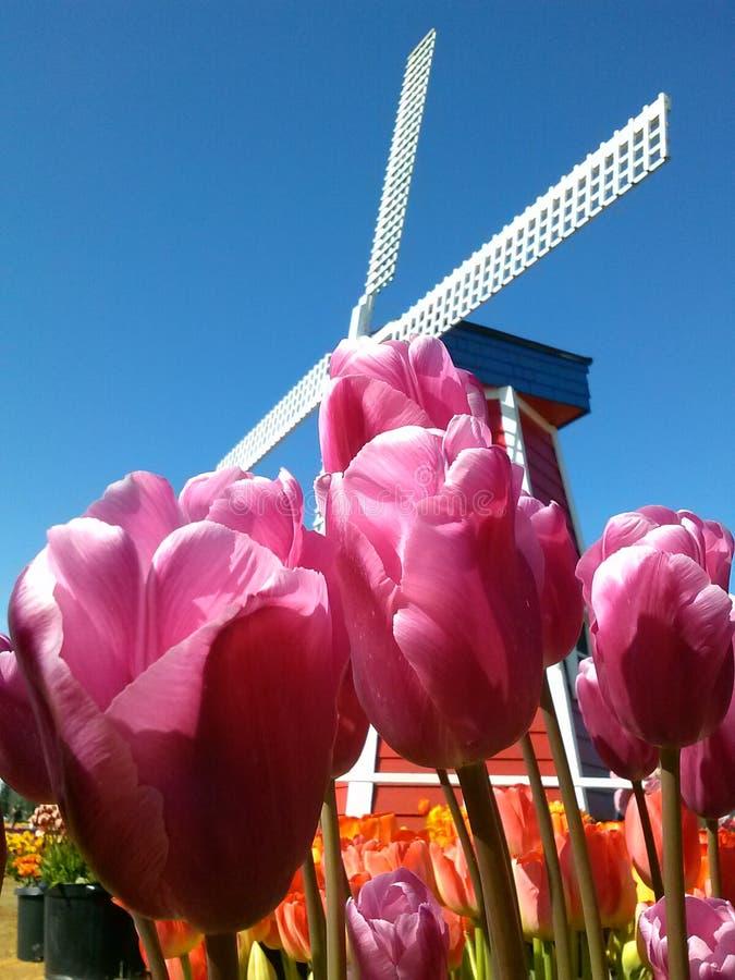 Tulpe stockfotos