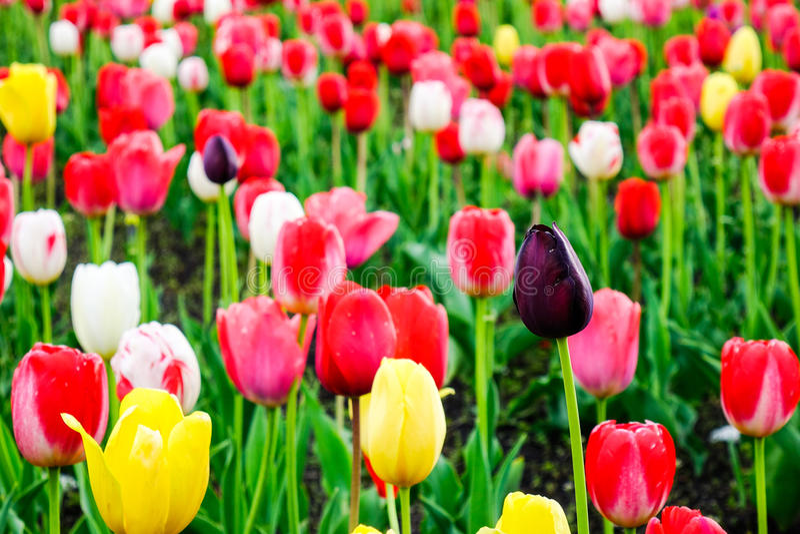 Tulpe blüht auf dem Feld in Tohoku, Japan lizenzfreie stockbilder