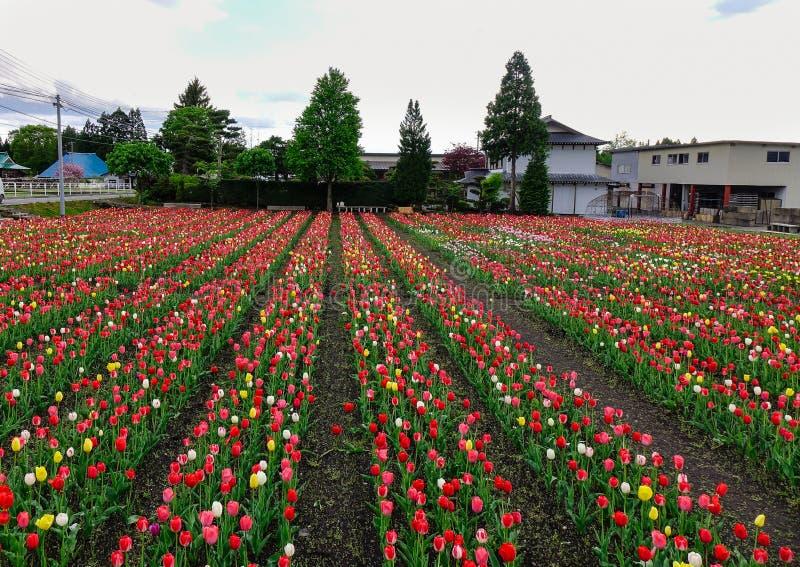 Tulpe blüht auf dem Feld in Tohoku, Japan stockfotos