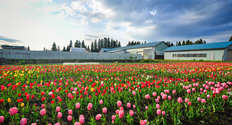 Tulpe blüht auf dem Feld in Tohoku, Japan stockbilder