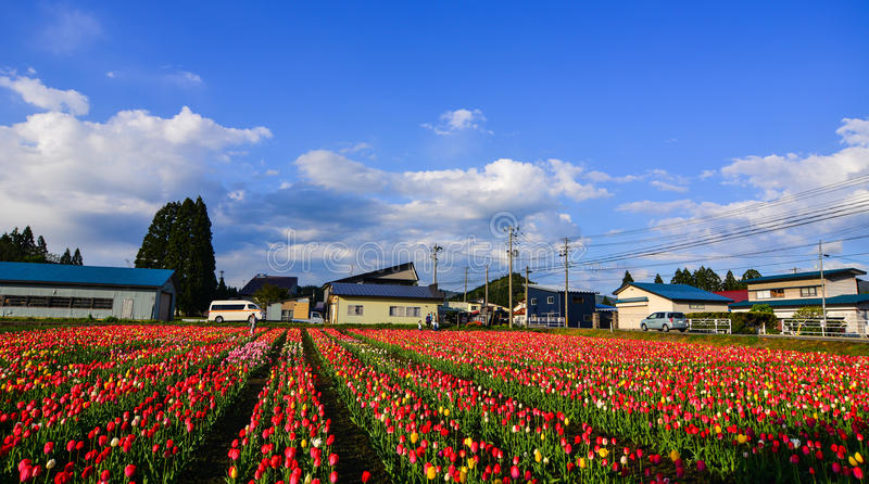 Tulpe blüht auf dem Feld in Tohoku, Japan lizenzfreies stockfoto