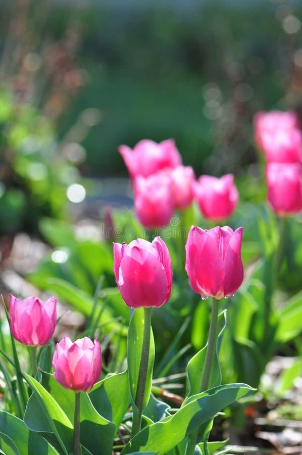 Tulpe-Blumen lizenzfreie stockfotos