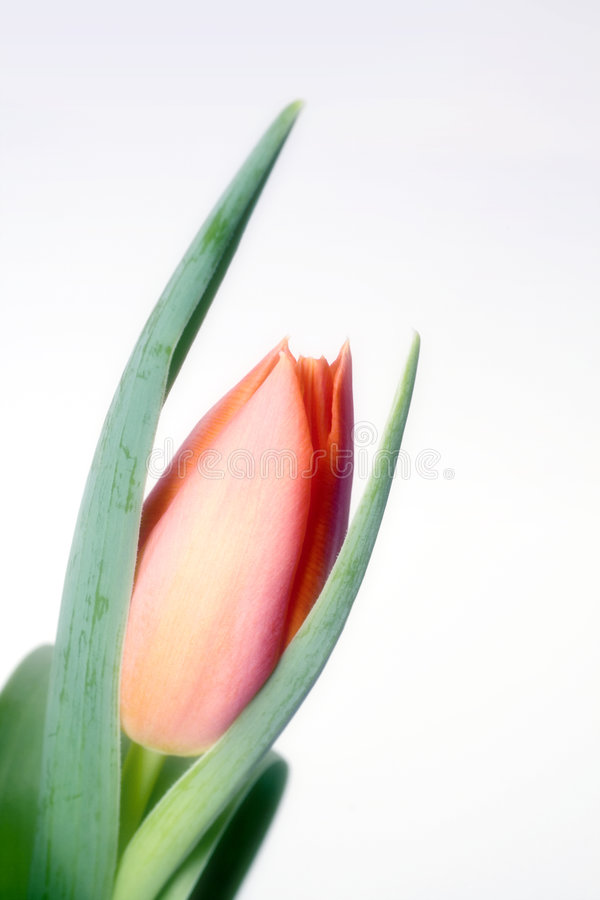 Tulpe des orange Rotes stockfotos