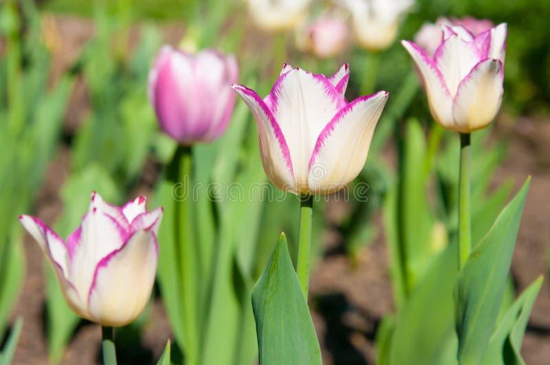 Tulpe, die im Garten wächst stockbilder