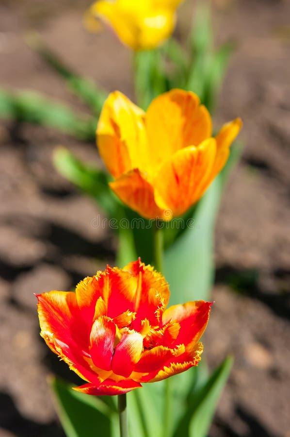 Tulpe, die im Garten wächst lizenzfreie stockfotos