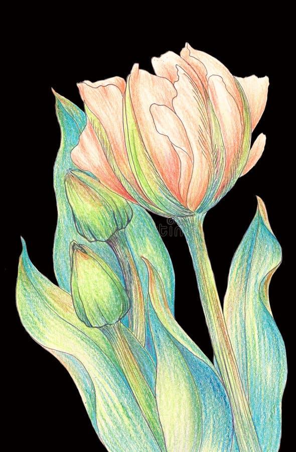 Tulpe - eine Zusammensetzung von Blumen Gerade ein geregnet lizenzfreie abbildung