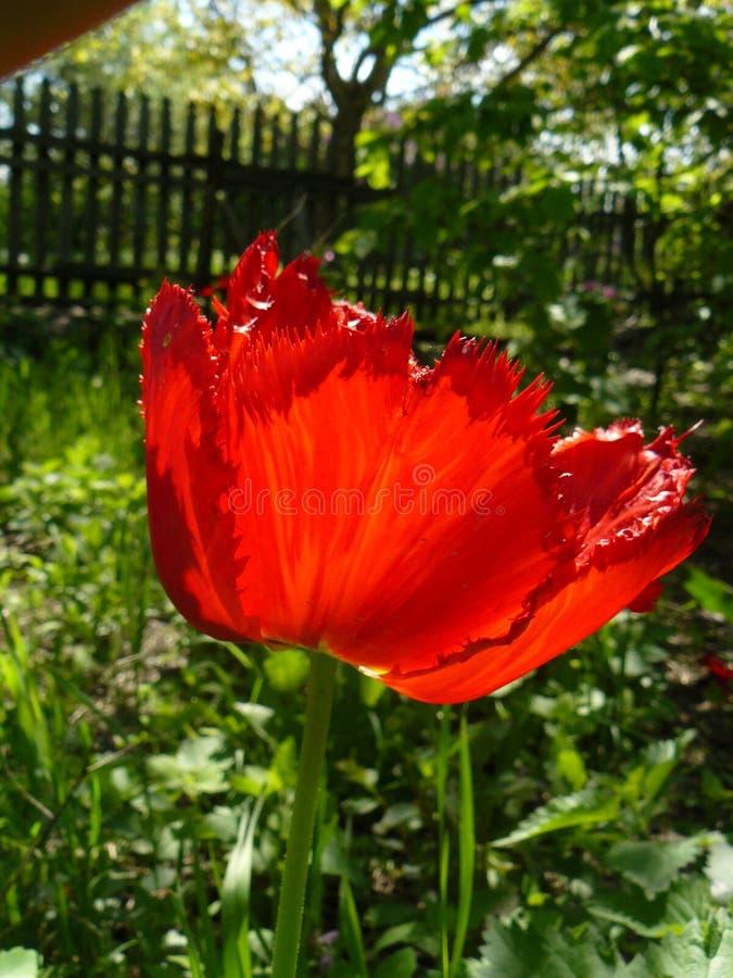 Tulpe eingesäumt lizenzfreie stockfotos