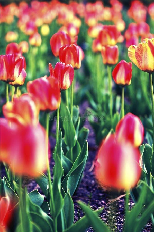 Tulpe-Feld lizenzfreie stockfotografie