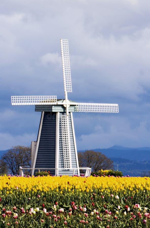 Tulpe-Felder und eine Windmühle lizenzfreies stockfoto
