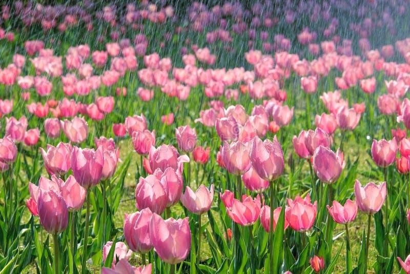 Tulpe im Regen stockfoto