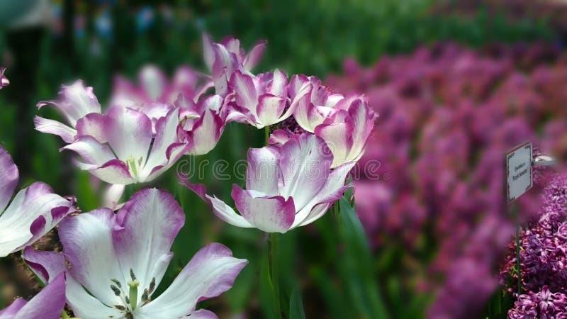 Tulpe-Manie! lizenzfreies stockfoto