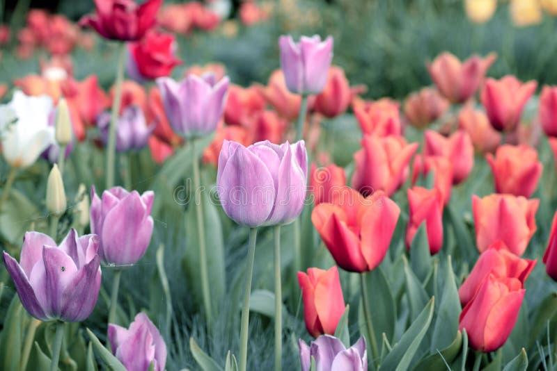 Tulpe Schöner Blumenstrauß der Tulpen Bunte Tulpen Tulpen im Frühjahr, bunte Tulpe stockfoto