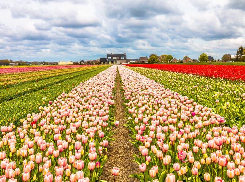 Tulpe Tulipography Lisse Noordwijk die Niederlande stockfotos