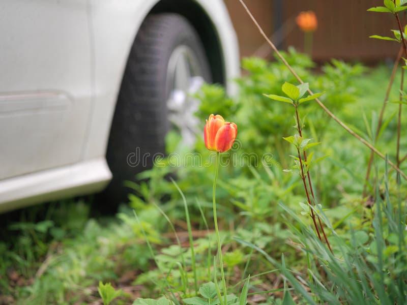 Tulpe vor einem Fahrzeug stockfotografie