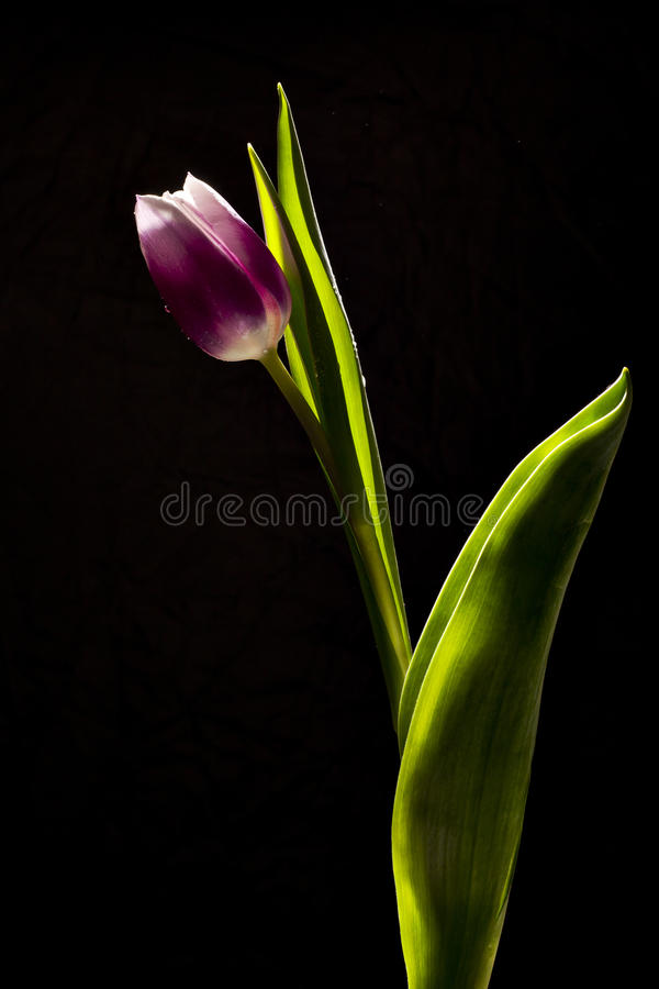 Tulpeblume stockbilder