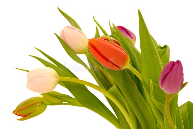 Tulpeblumen auf weißem Hintergrund stockfotos